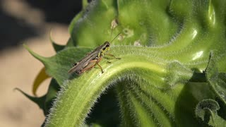 Grasshopper sitting on back of sunflower 4k