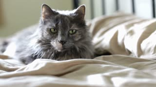 Gray cat laying on bed