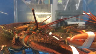 Grocery store lobsters having a battle in their aquarium 4k