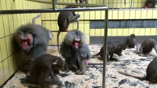 Group of Baboons in cage at zoo 4k