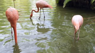 Group of flamingos searching water for food