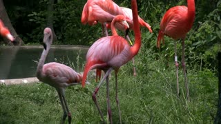 Group of Flamingos standing in Grass