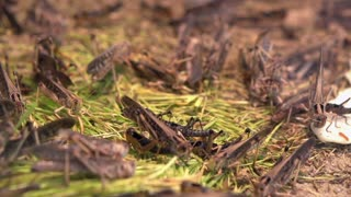 Group of grasshoppers eating grass
