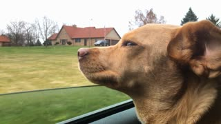 Happy dog hanging head out window while driving in car 4k