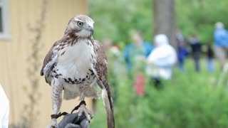 Hawk on arm of person