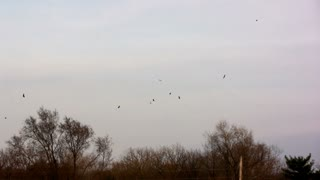 Hawks Circling Forest Sky