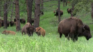 Herd of Buffalo walking through forest