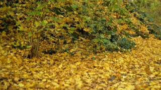 Hiking path in forest covered by fall leaves 4k