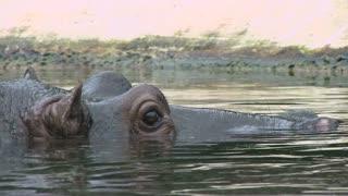 Hippo hiding head under water
