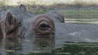 Hippo looks away from camera