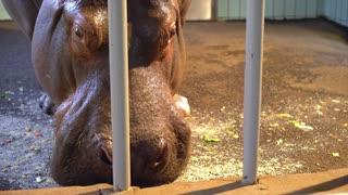 Hippopotamus at zoo eating food in cage 4k