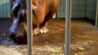 Hippopotamus behind cage bars eating food off floor 4k