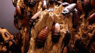 Hissing Beetles on Wood
