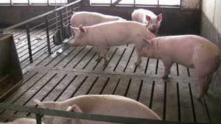 Hogs in Stable at slaughter house