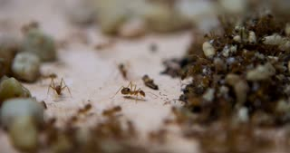Honey ants stacking dead bodies in pile 4k