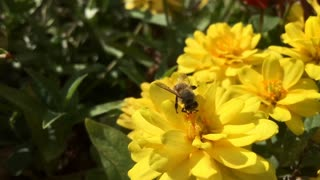 Honey Bee searching through flower for pollen slow motion