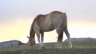 Horse at sunset eating through grass slow motion