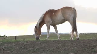 Horse eating grass at sunset slow motion