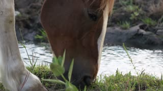 Horse near stream eating grass