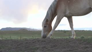 Horse searching through dry land for grass