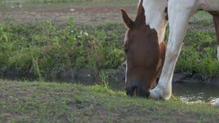 Horse walking along side stream eating