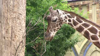 Hungry Giraffe chewing on empty branches
