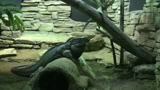 Iguana in Jungle Scene