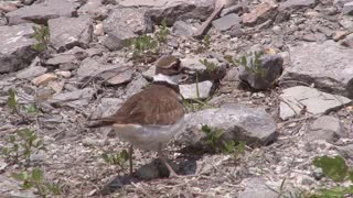 Killdeer Bird on Rocky Terrain
