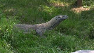 Komodo Dragon sitting still in grass