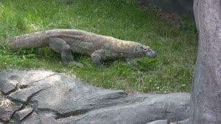 Komodo Dragon walking around in grass