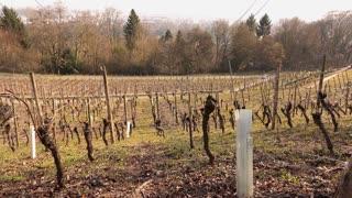 Landscape of vineyard pan shot in park 4k