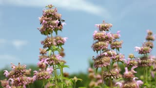 Large Bees on flowers with sky in back