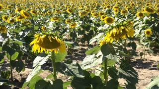 Large field of sunflowers on bright sunny day 4k