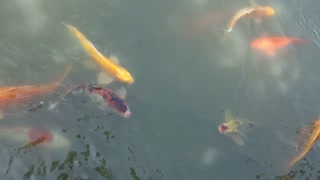 Large Fish Swimming at water surface