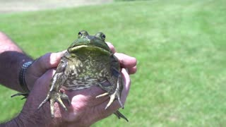 Large frog held in hand slow motion