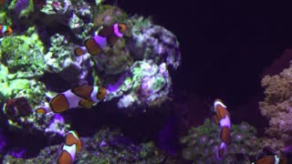 Large group of clown fish at aquarium swimming around