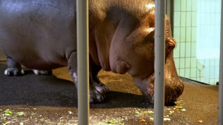 Large hippo behind bars in cage eating 4k
