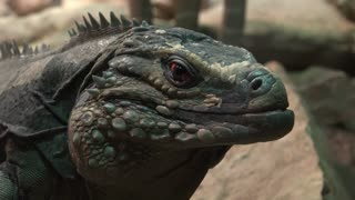 Large iguana looking at camera staying very still 4k