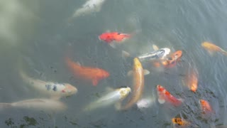 Large School of fish eating at water surface