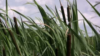 Large Stalks of grass blowing in wind