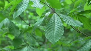 Large tree leaves in forest