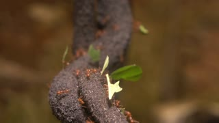 Leaf cutter ants carrying food across forest 4k
