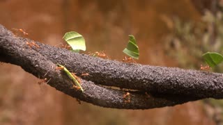 Leaf cutter ants in forest moving food across branches 4k