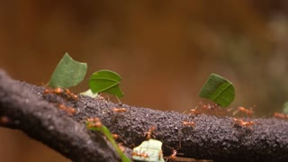 Leaf cutter ants moving cut leaves across branch 4k