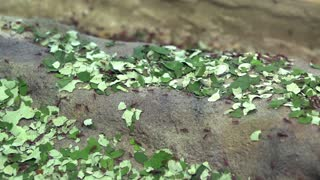 Leaf cutter ants moving food