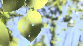 Leaves of tree blowing in calm wind detail shot 4k