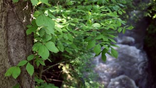 Leaves on tree with river in background