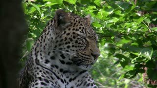 Leopard closing eyes and relaxing