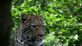 Leopard in front of trees in background