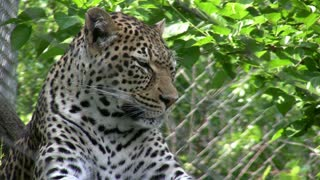 Leopard in Sunshine